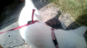 Indy all securely strapped up on her harness